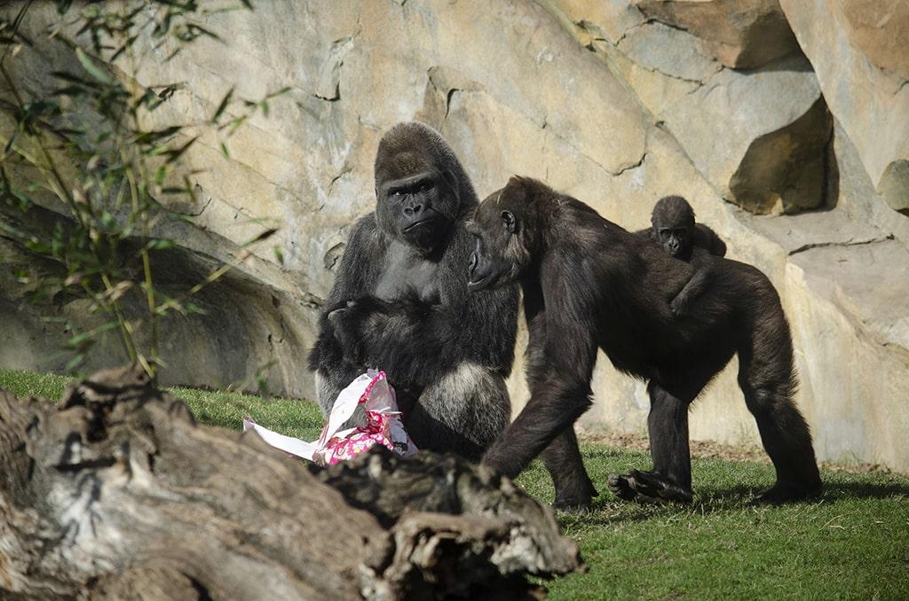 Los Reyes Magos adelantan sus regalos para los animales de BIOPARC Valencia - gorilas