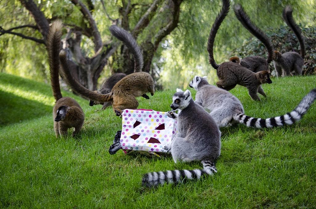 Los Reyes Magos adelantan sus regalos para los animales de BIOPARC Valencia - lemures