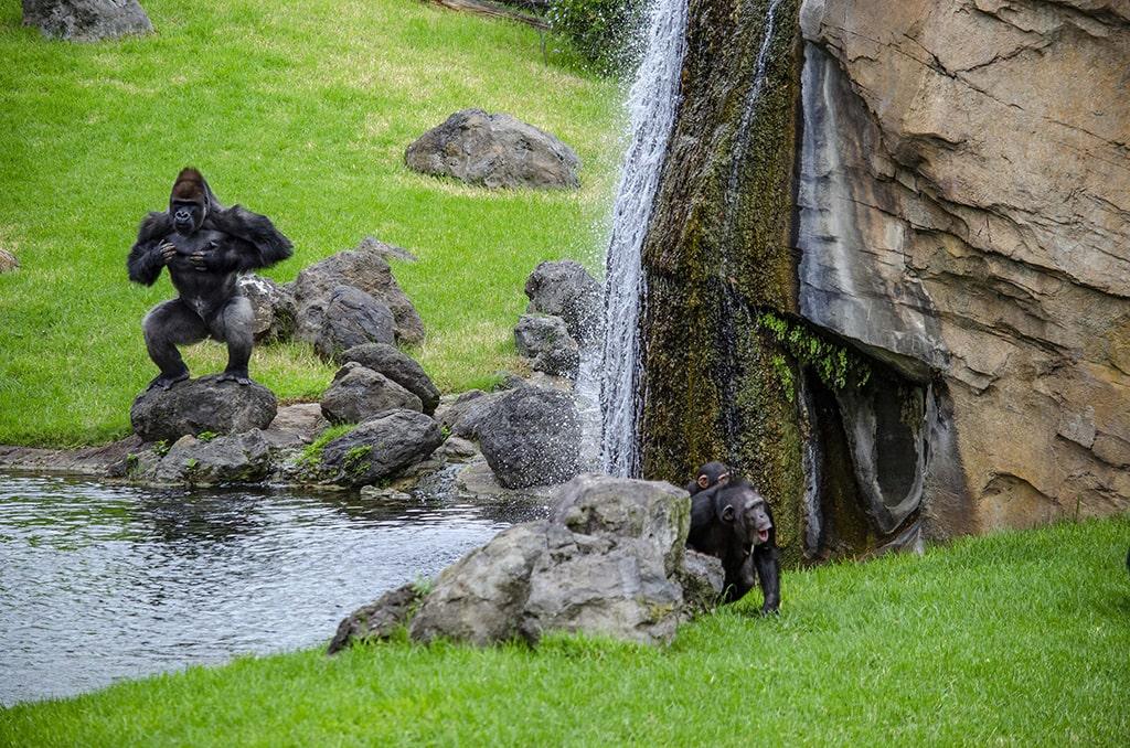 Grandes primates en BIOPARC Valencia