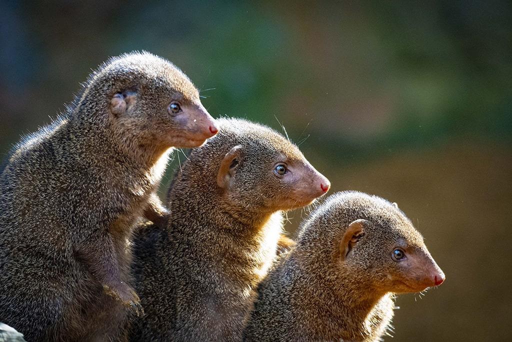 BIOPARC Valencia lanza FOTOPARC para concienciar sobre la belleza salvaje amenazada - mangostas enanas