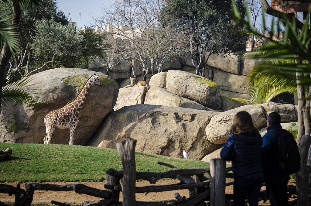 Leona y jirafa en la Sabana de BIOPARC