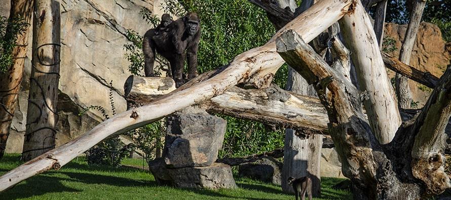Gorilas y mangabeys en BIOPARC Valencia