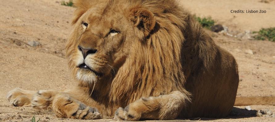 BIOPARC Valencia recibirá próximamente un león