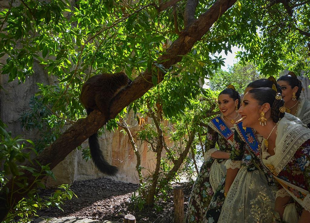 Las Falleras Mayores de Valencia celebran el 12 aniversario de BIOPARC - Observando a los lémures
