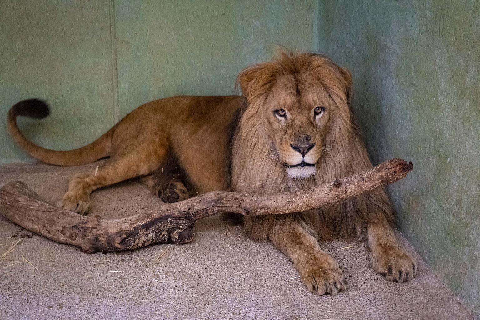 Lubango el nuevo león de BIOPARC Valencia