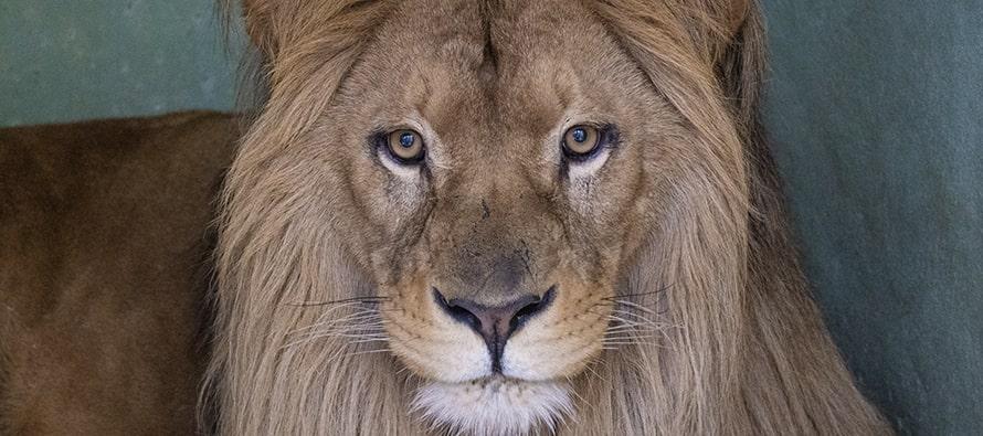 El león Lubango ya está en Valencia
