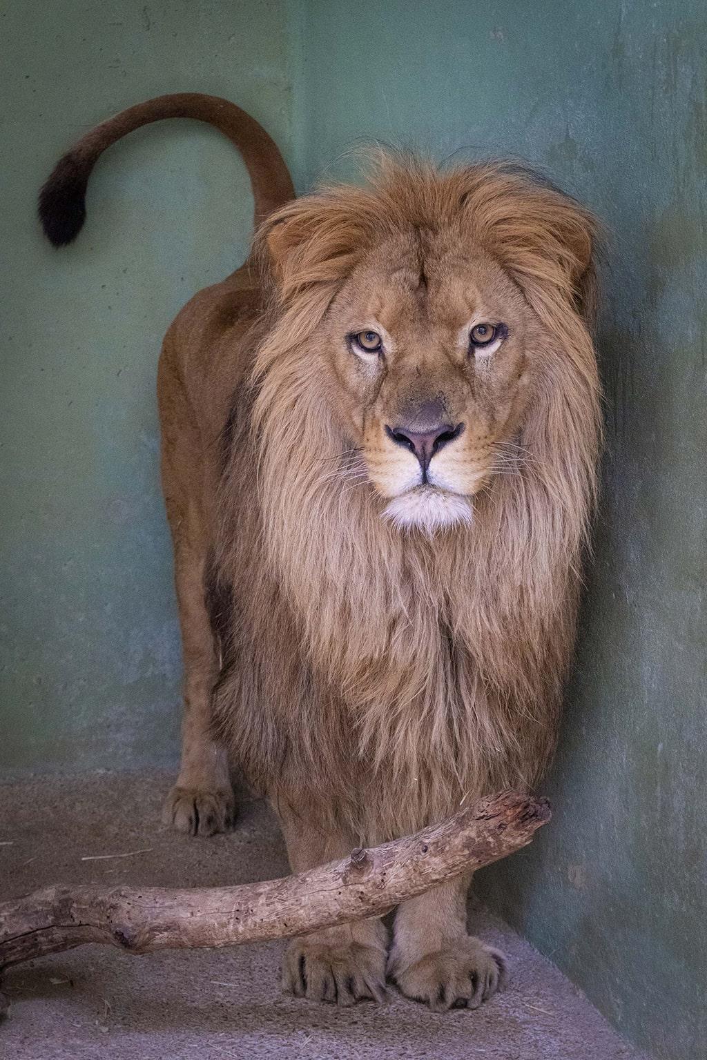 Lubango el nuevo león de BIOPARC ya está en Valencia