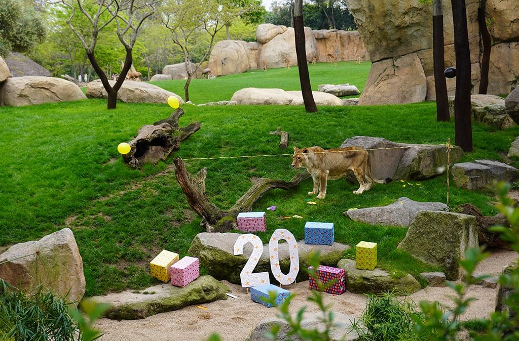 20 aniversario de la longeva leona Fa en BIOPARC
