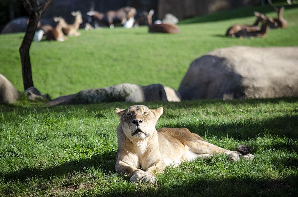 20 aniversario de la longeva leona Fa en BIOPARC Valencia