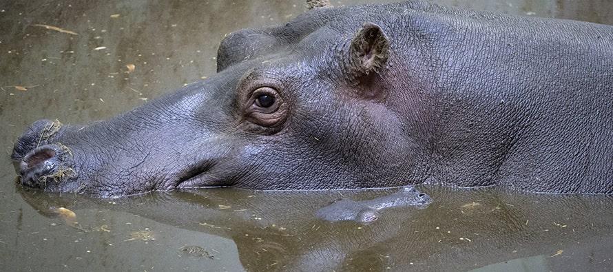 Nace una cría de hipopótamo en BIOPARC Valencia