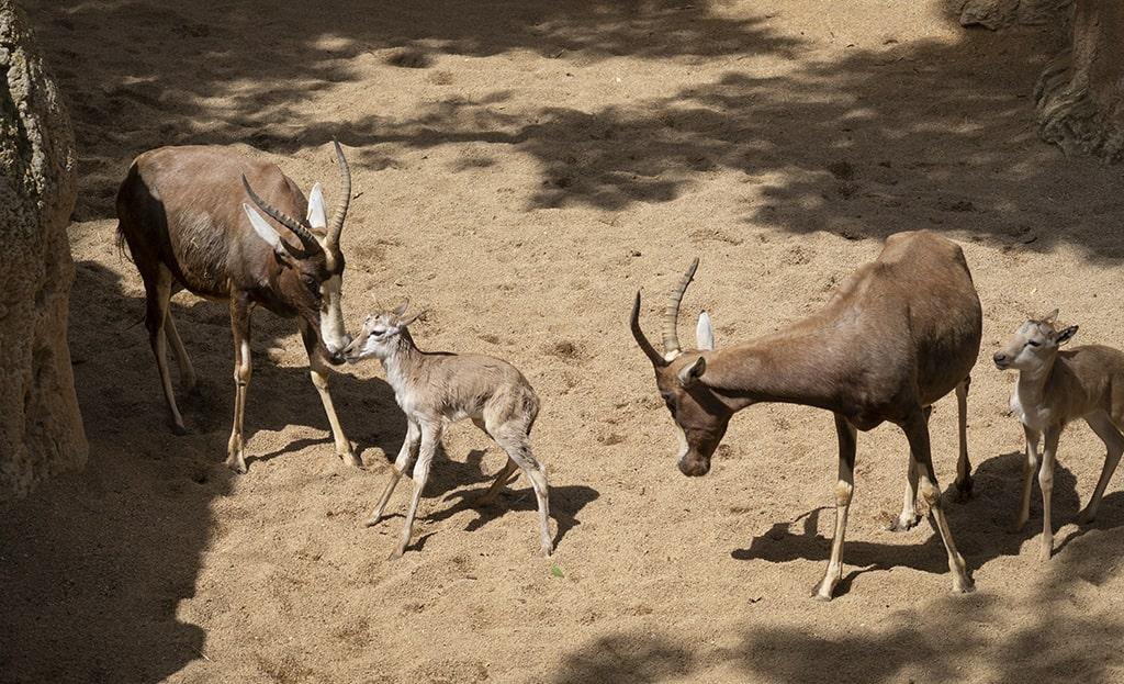 Sigue el baby boom con el nacimiento de dos blesboks en BIOPARC Valencia
