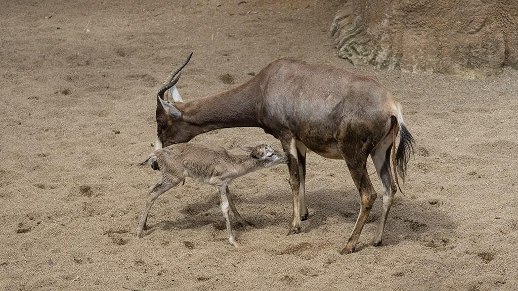 Sigue el baby boom con el nacimiento de dos blesboks