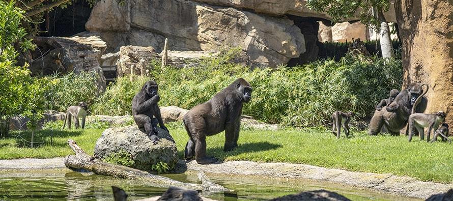 Día del medioambiente 2020 - gorilas y mangabeys en BIOPARC