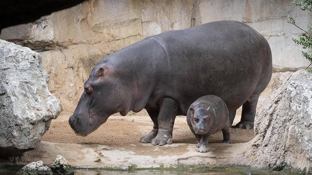 Hipopótamos, madre y cría en BIOPARC Valencia