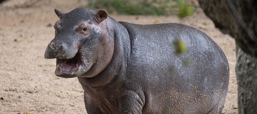 El bebé hipopótamo de BIOPARC Valencia es macho
