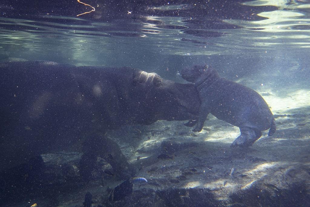 Hipopótamos, madre y cría, en la cueva de Kitum