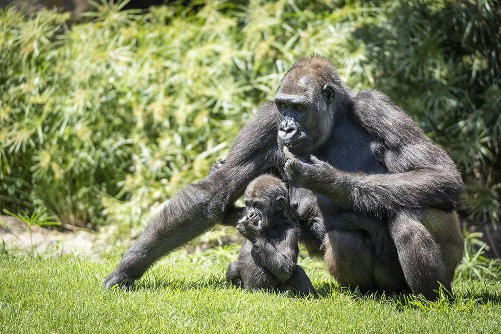 Gorilas en BIOPARC Valencia antes de la reapertura del parque
