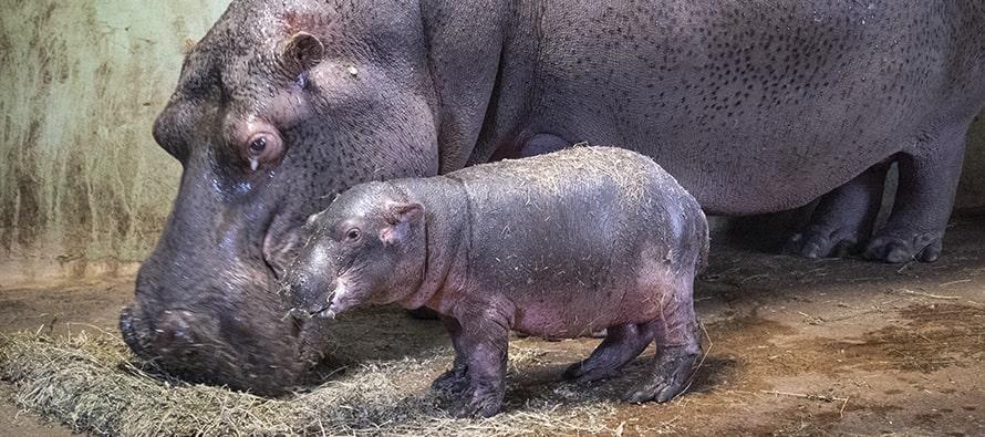 El bebé hipopótamo de BIOPARC Valencia evoluciona positivamente y comienza a dar sus primeros pasos