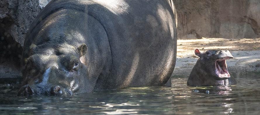 El bebé hipopótamo nacido en BIOPARC Valencia se llamará Gori
