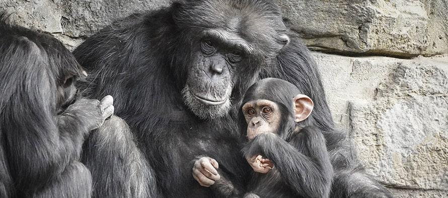 Hoy el chimpancé Coco cumple 2 años y último fin de semana de la promoción de reapertura en BIOPARC Valencia
