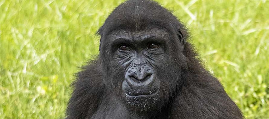 La gorila Virunga cumple su 4 aniversario en BIOPARC Valencia