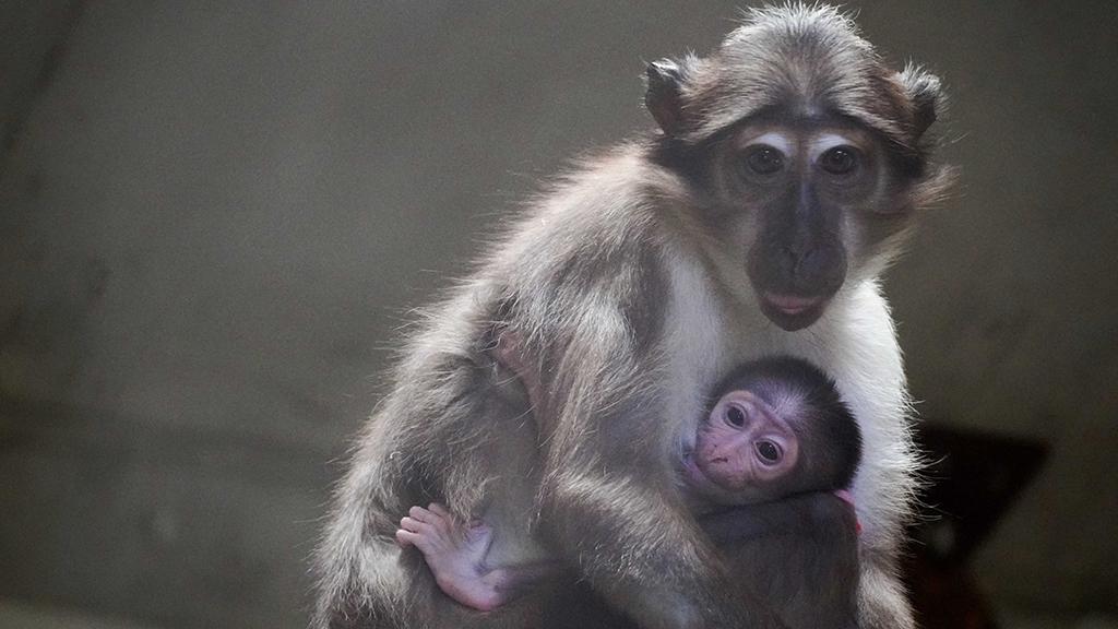 Cría de mangabey con su madre - BIOPARC Valencia
