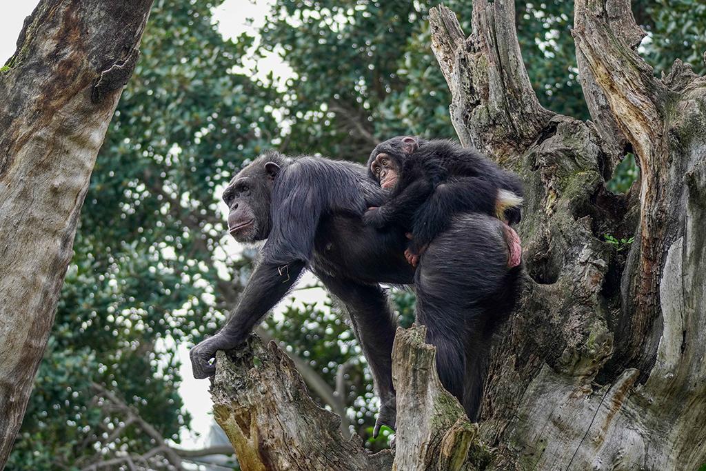 Chimpancés Djibril y Eva en el árbol BIOPARC Valencia