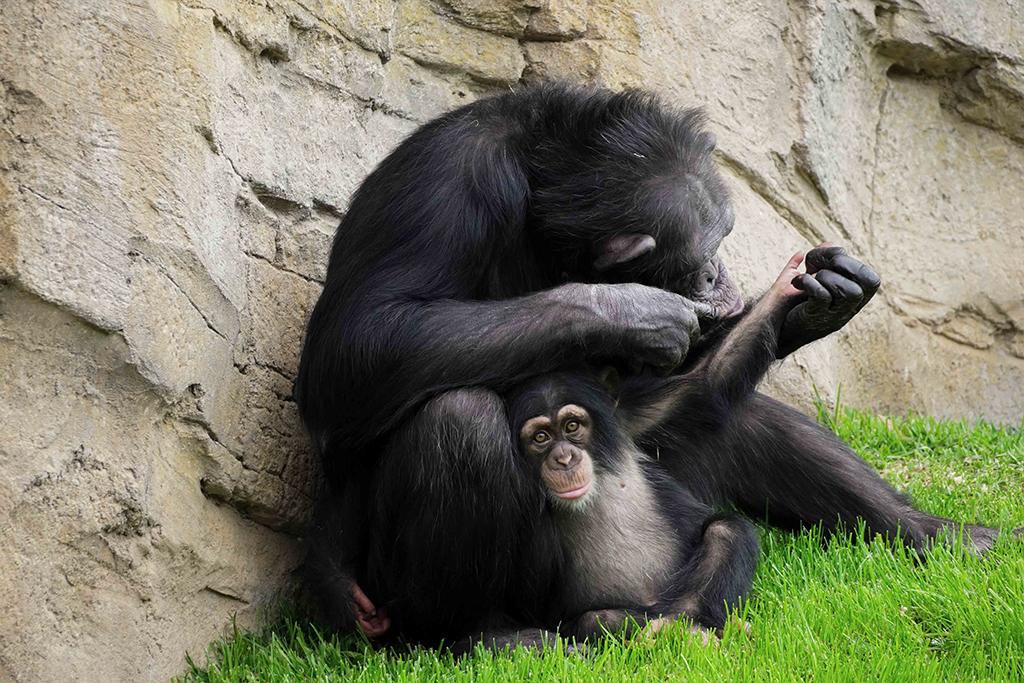 Eva y Djibril chimpancés BIOPARC Valencia