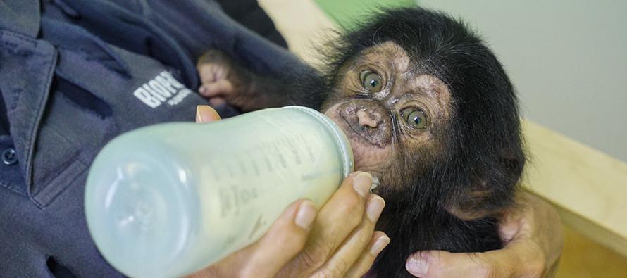 Cría de chimpancé Djibril tomando biberón