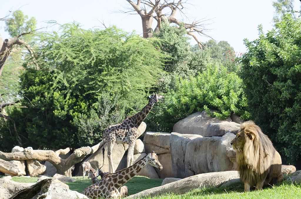 Jirafas y leones en BIOPARC Valencia 2020