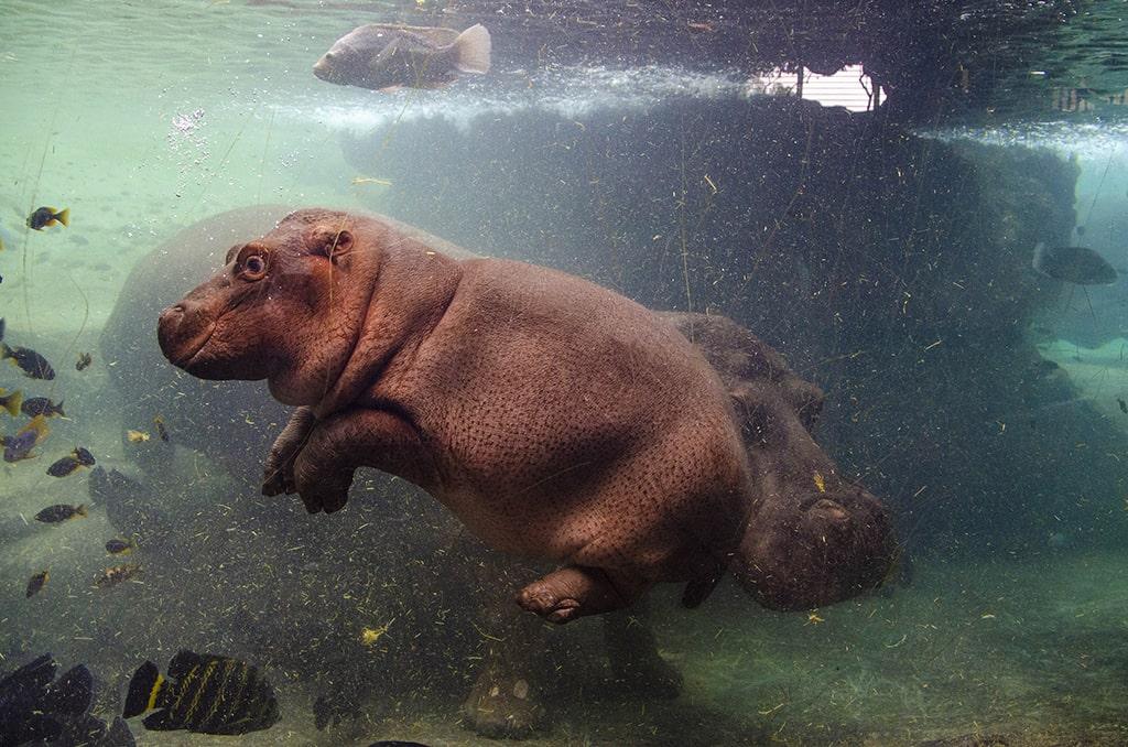 El bebé hipopótamo Gori en BIOPARC Valencia