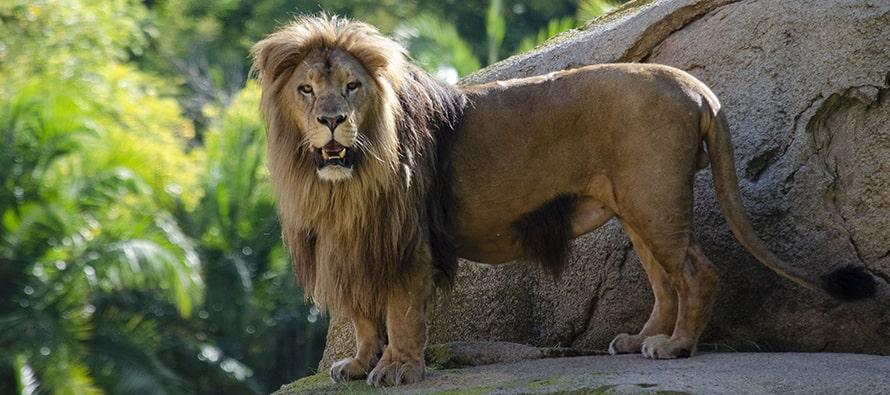 El joven león Lubango en BIOPARC Valencia