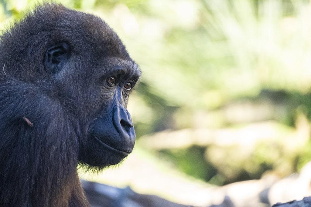 El gorila Ebo celebra su 8 aniversario en BIOPARC Valencia