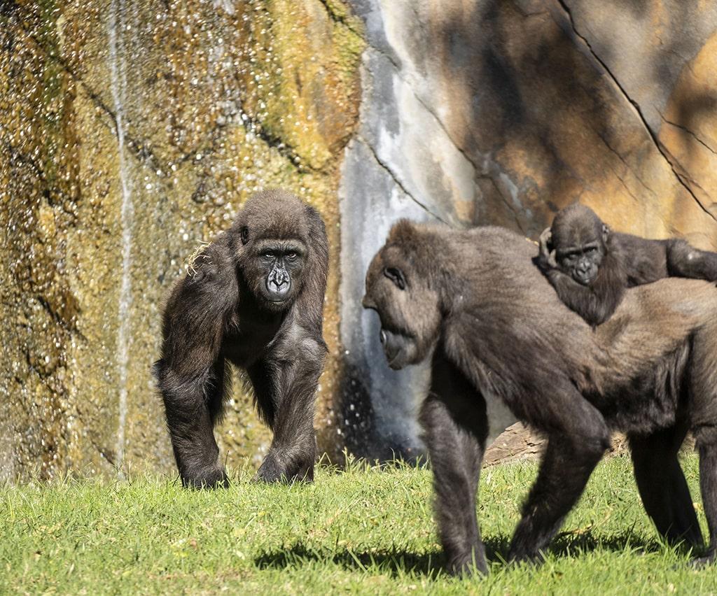 Ebo el primer gorila nacido en BIOPARC Valencia cumple 8