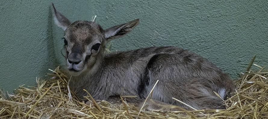 Nace una gacela de Thomson en BIOPARC Valencia octubre 2020