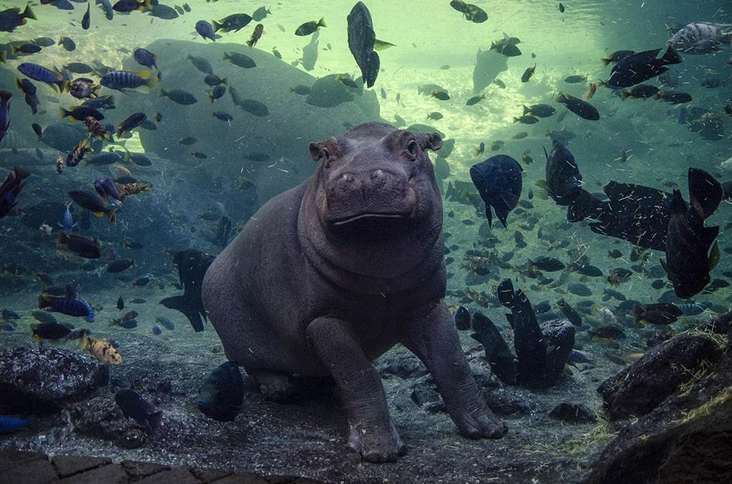 El bebe hipopótamo Gori en BIOPARC Valencia 2020