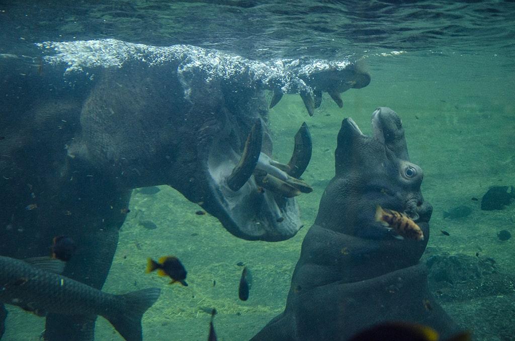 Hipopótamos, padre y cría, en BIOPARC Valencia