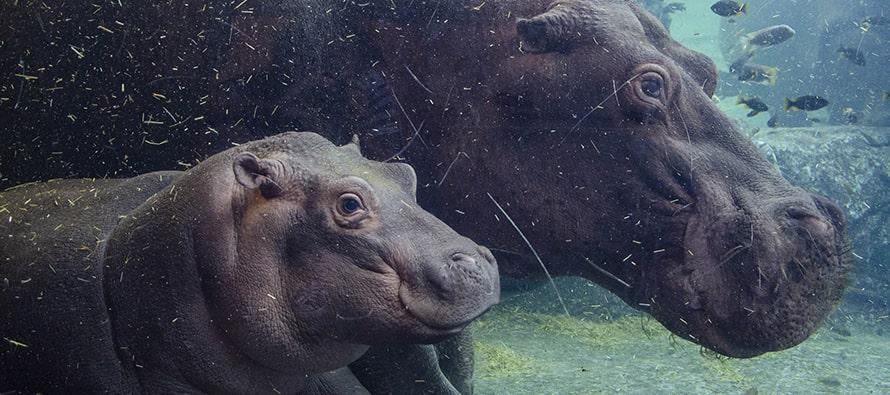 El bebé hipopótamo Gori cumple 6 meses en BIOPARC Valencia