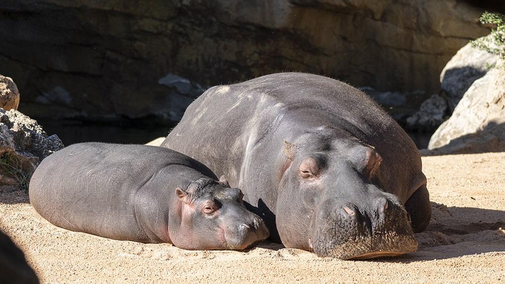 Hipopótamos, madre y cría, en BIOPARC Valencia