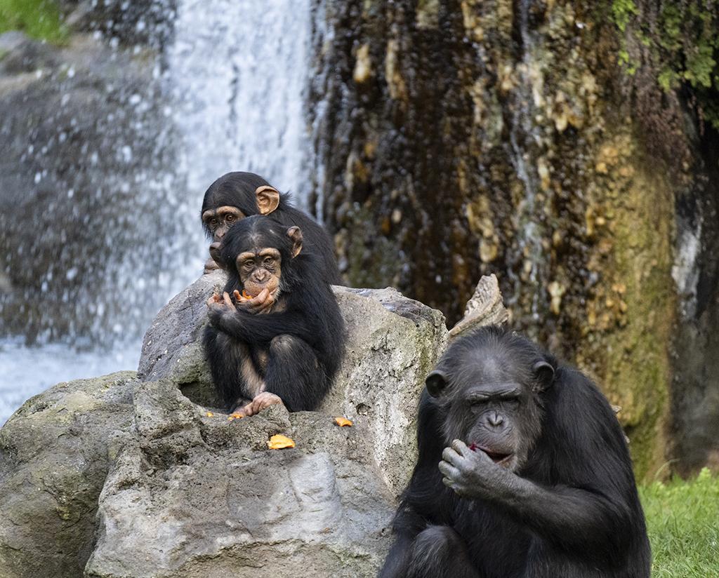 Chimpancés Djibril, Coco y Moreno
