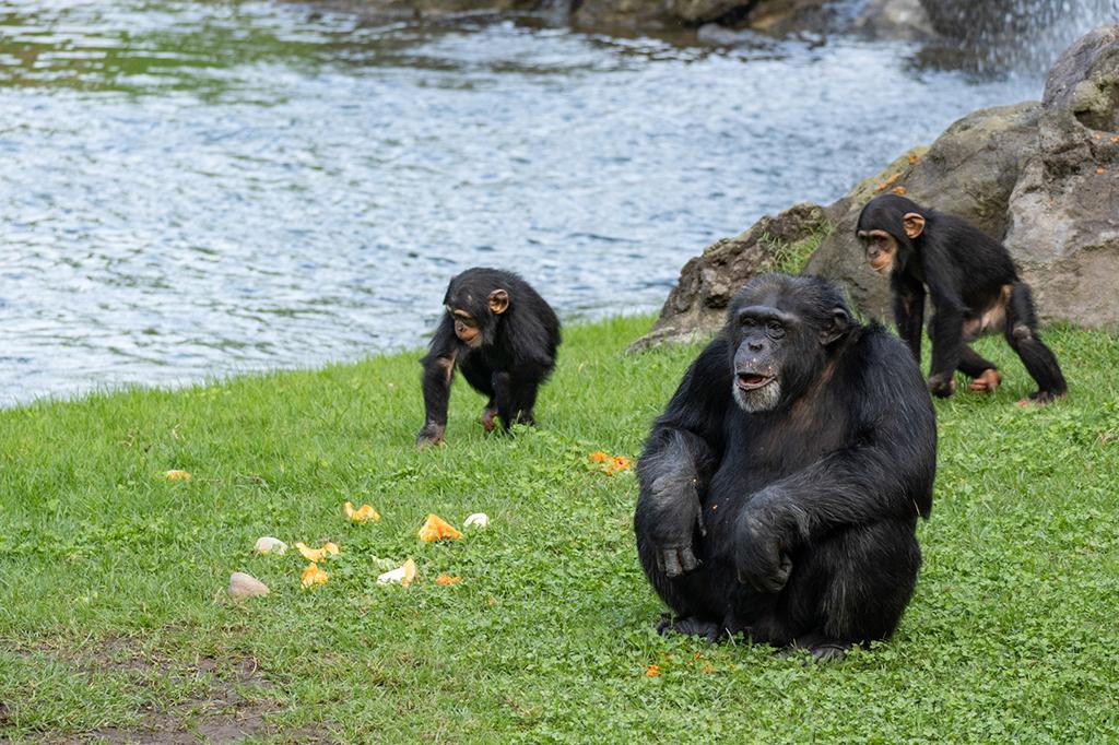 Chimpancés Coco y Djibril con Moreno