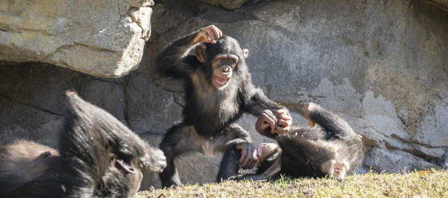 Chimpacé Djibril BIOPARV Valencia