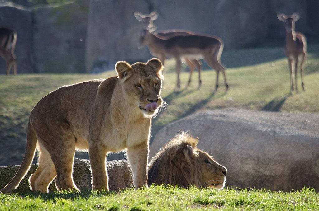 Los leones Lubango y Shanga en BIOPARC Valencia