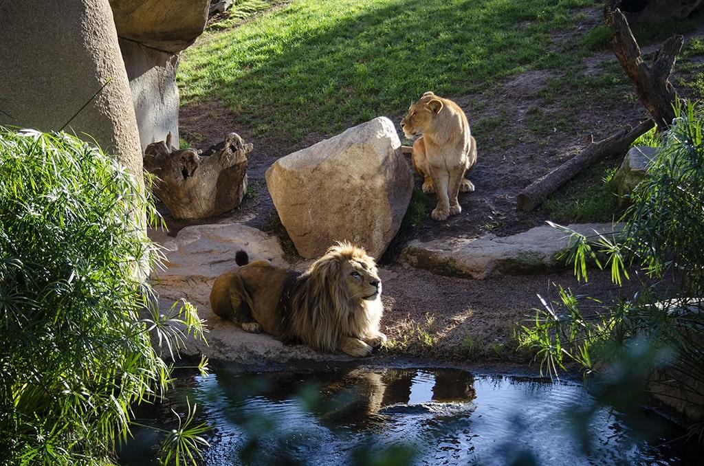Los leones Lubango y Shanga en BIOPARC Valencia 2021