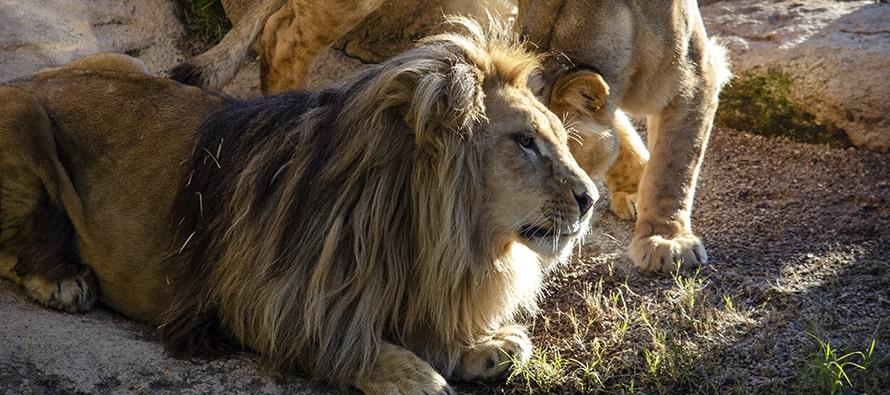 Los leones Lubango y Shanga