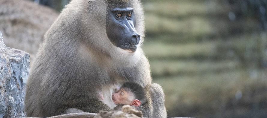 Nace un dril en BIOPARC Valencia, símbolo de esperanza para su especie, en grave peligro de extinción