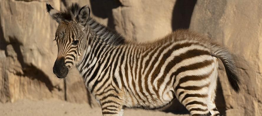 El primer nacimiento del 2021 es una cebra y se llama Filomena