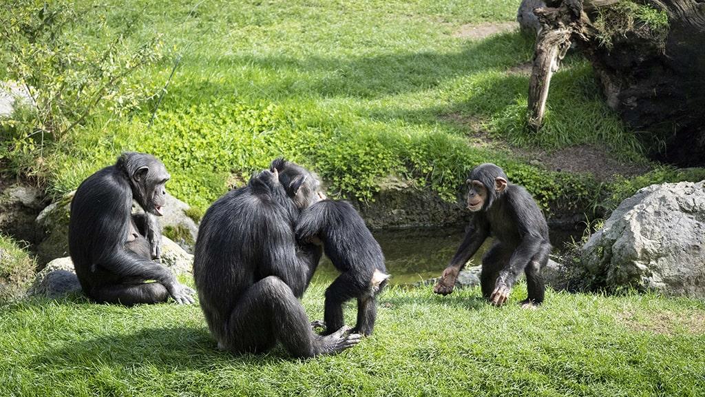 Chimpancés en BIOPARC Valencia febrero 2021