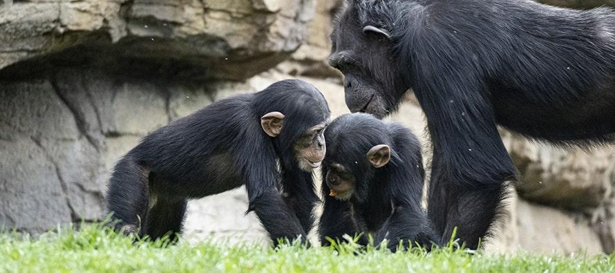 Chimpances en BIOPARC Valencia febrero 2021