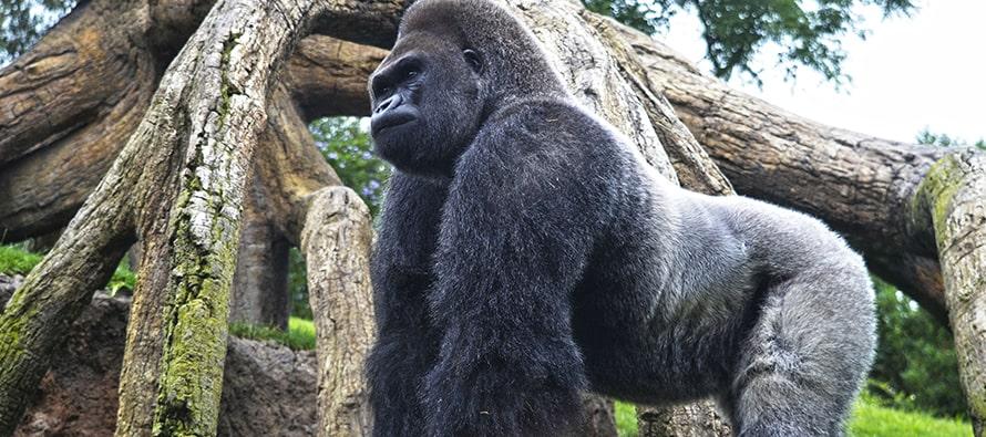 El gorila espalda plateada Mambie cumple 30
